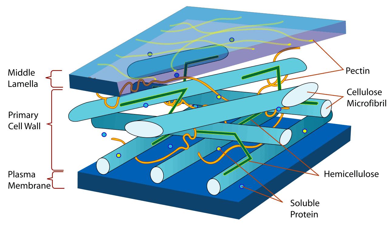 कोशिका भित्ति (Cell Wall) एवं कोशिका झिल्ली (Cell Membrane)