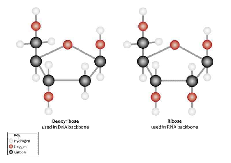 डीएनए की संरचना, रासायनिक प्रकृति, भौतिक प्रकृति तथा प्रकार
