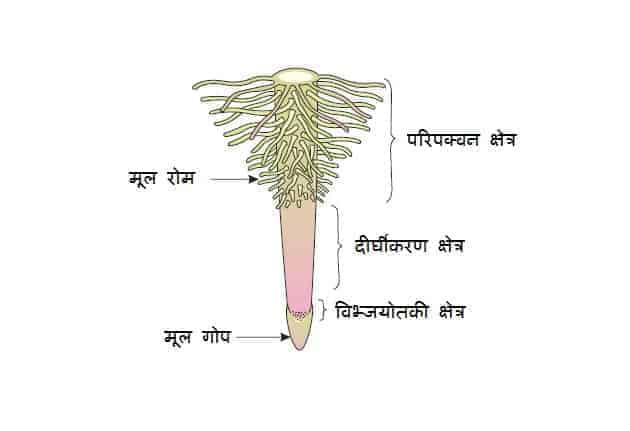 मूल / जड़ - बाह्य आकारिकी, रूपांतरण तथा कार्य मूल तंत्र (Root Morphology, Modification of root, Root system and Work of Root)