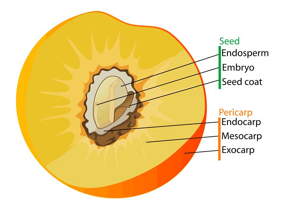 फल एवं इसके प्रकार (FRUITS AND THEIR TYPES)