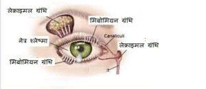 The Eye नेत्र की संरचना, समंजन क्षमता तथा दृष्टि की क्रियाविधि