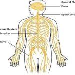 मानव का तंत्रिका तंत्र (Humain Nervous System)
