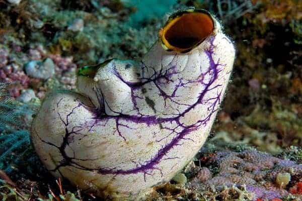 Subphylum Urochordata tunicate