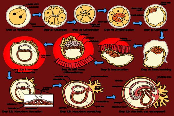 अन्तर्रोपण, सगर्भता, भूर्णीय परिवर्धन, प्रसव तथा दुग्धस्त्रावण Implantation, Pregnancy, Embryonic Development, Parturition and Lactation