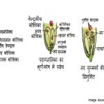 पराग स्त्रीकेसर संकर्षण, Pollen Pistil Interaction , परागकण का अंकुरण, Germination of Pollen grain hindi
