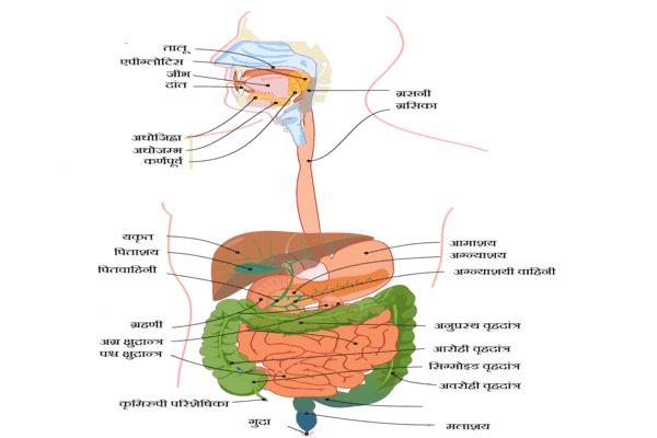 भोजन के पाचन की क्रियाविधि मानव पाचन तंत्र (Human Digestive System in hindi)
