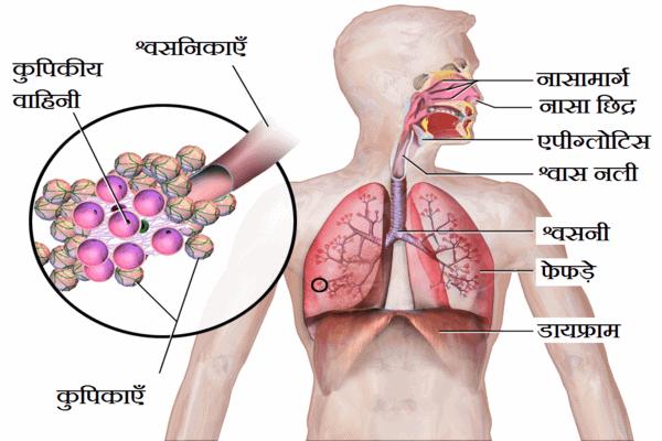 human respiratory system in hindi 1 श्वसन तंत्र