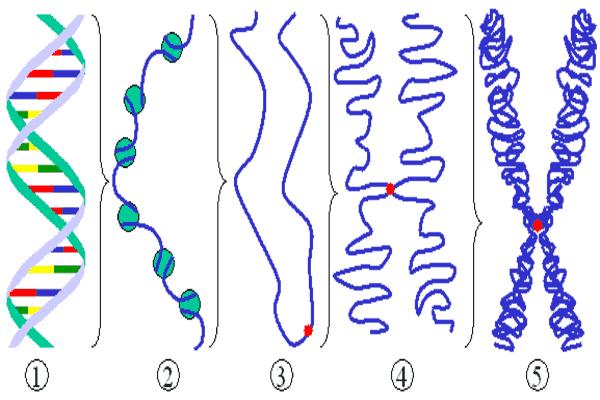 chromosome and chromatin in hindi गुणसूत्र की संरचना, आकृति, रासायनिक संगठन एवं प्रकार