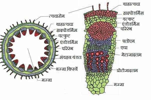एकबीजपत्री एवं द्विबीजपत्री तने की आंतरिक संरचना (Anatomy of Monocot and Dicot Stem)