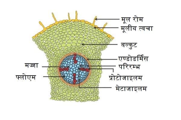 द्विबीजपत्री तथा एकबीजपत्री जड़ की आंतरिक संरचना (Internal Structure of Dicot and Monocot Root Hindi)