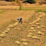 राजस्थान में कृषि Agriculture in Rajasthan in Hindi