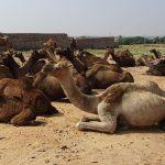 राजस्थान में पशु सम्पदाएँ (Animal Estate in Rajasthan Hindi)