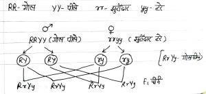 Dihybrid cross in Hindi